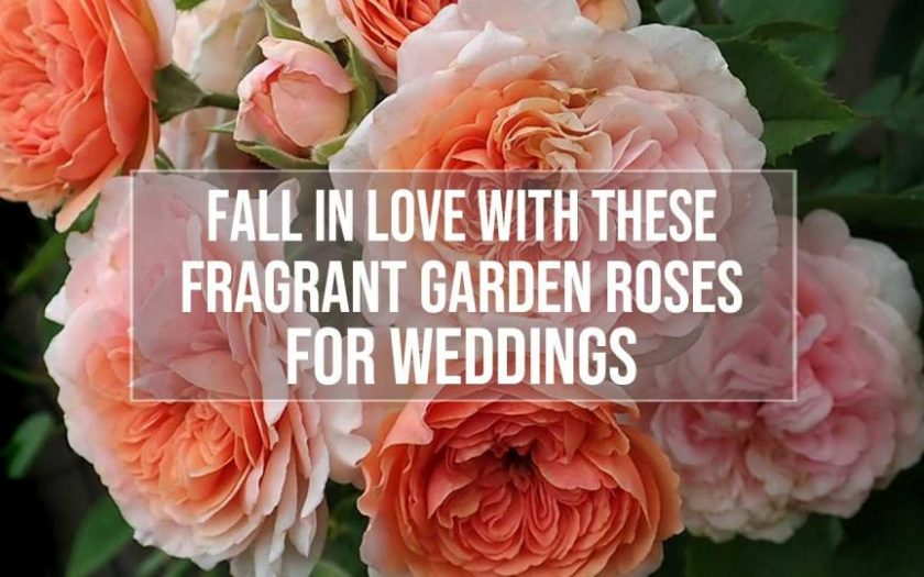 fragrant garden roses for weddings