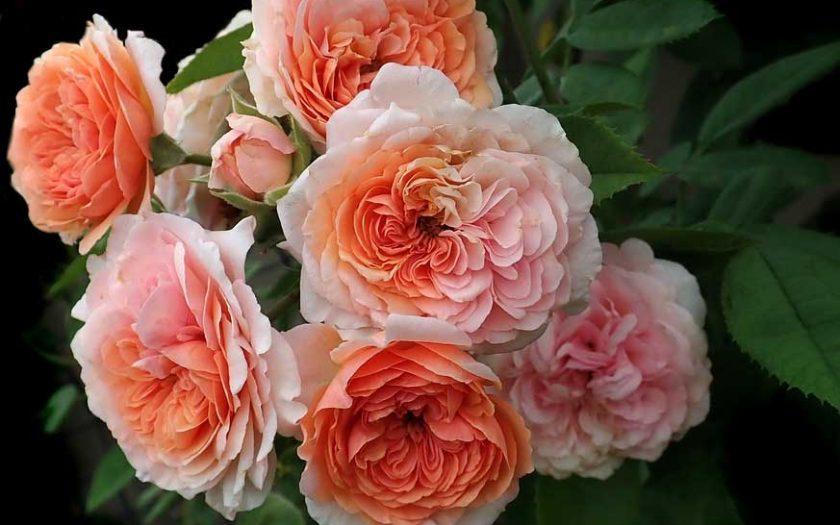 fragrant garden roses for weddings
