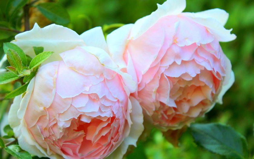 pink garden roses