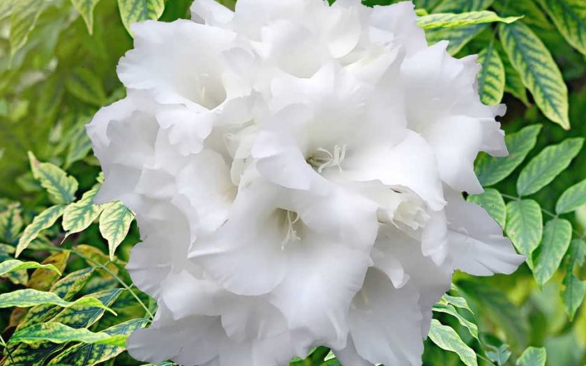 glamellia composite flower