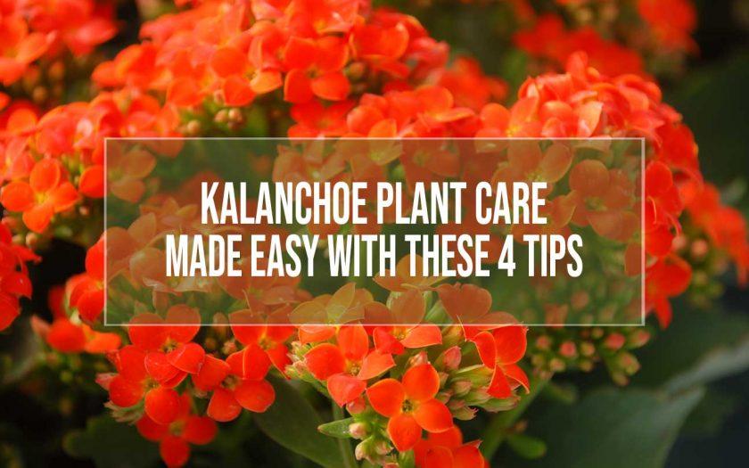 kalanchoe plant care