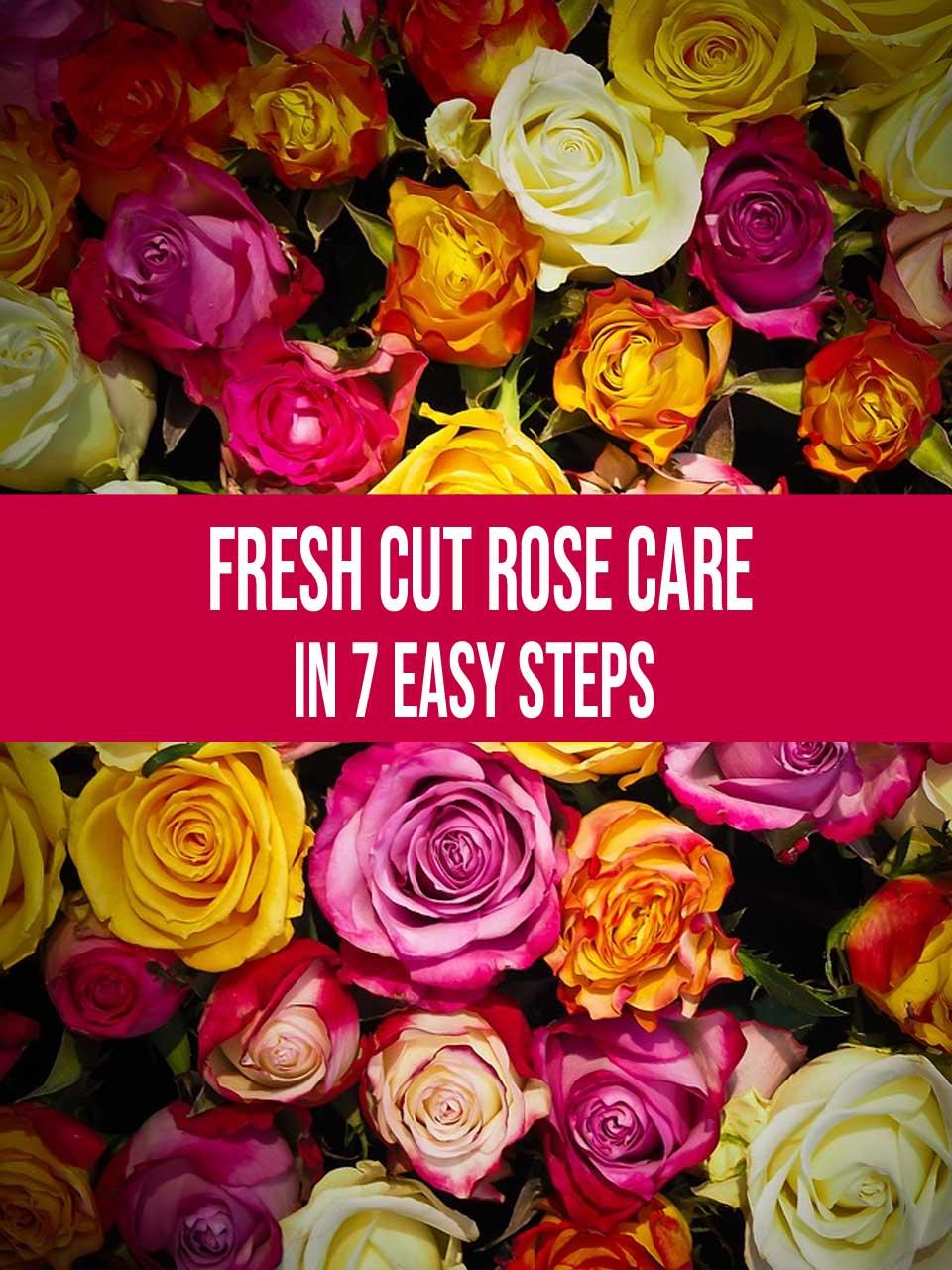 fresh cut rose care