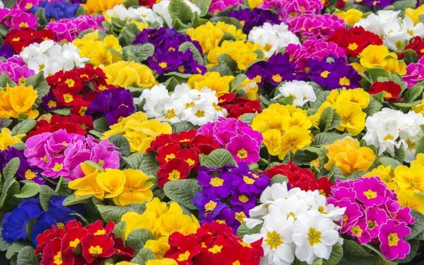 primrose care indoors