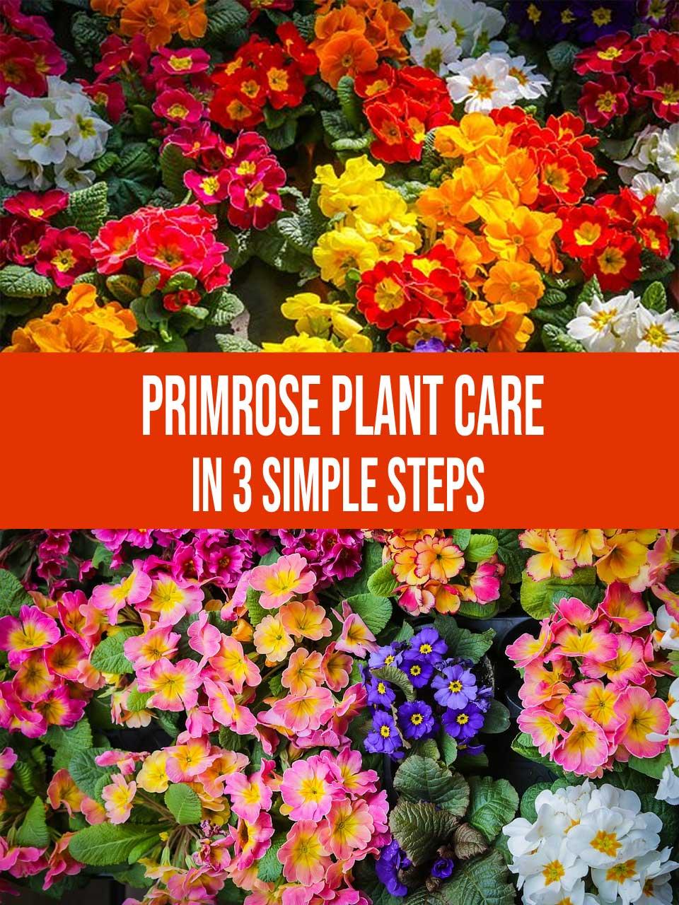 primrose plant care