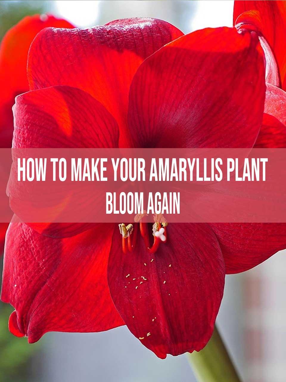 amaryllis plant