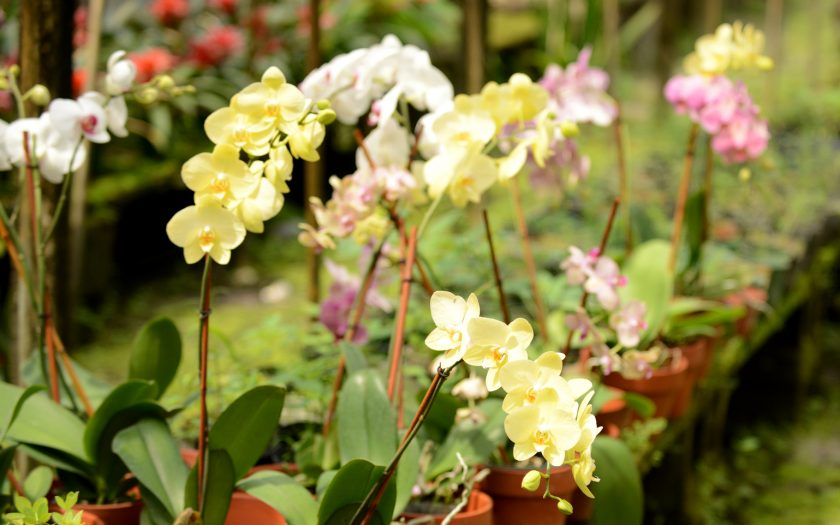 orchid plants in greenhouse