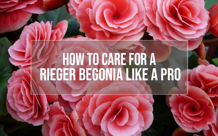 Rieger begonia plant care tips
