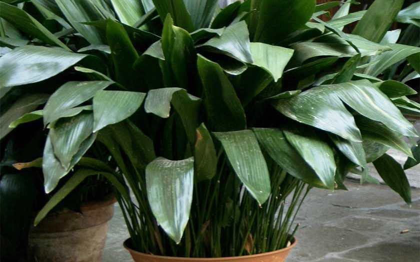 cast iron plant