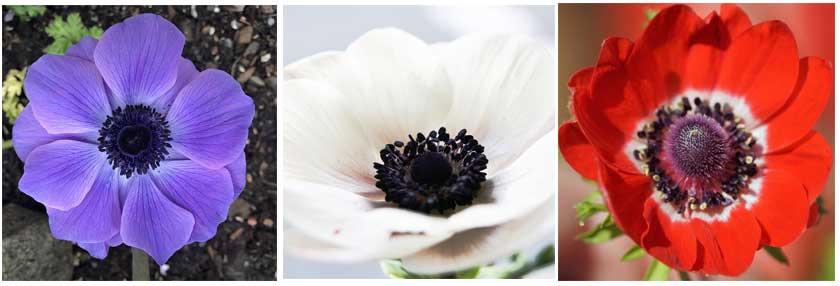 Mistral anemones