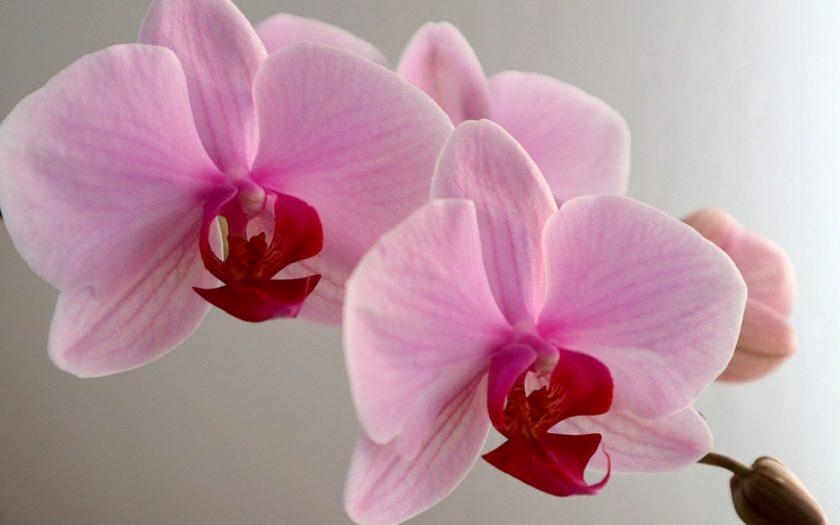 phaelaenopsis orchid plant care